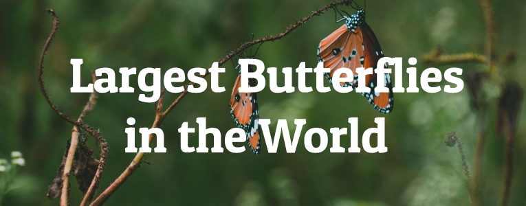 Largest Butterflies in the World