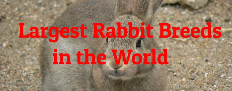 Largest Rabbit Breeds in the World