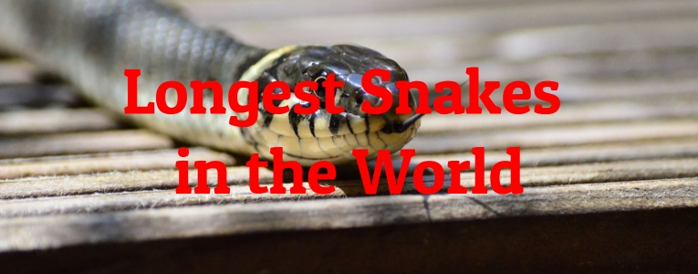 Longest Snakes in the World