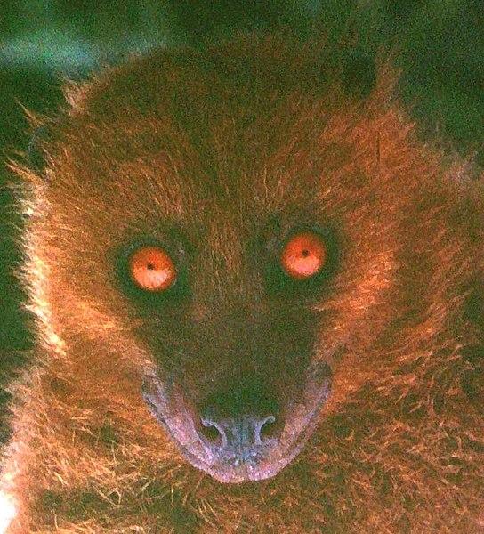 Fijian monkey-faced bat