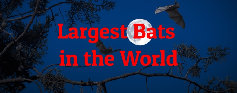 Largest Bats in the World