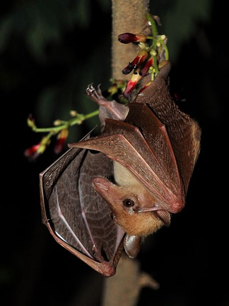 Long-tongued fruit bat
